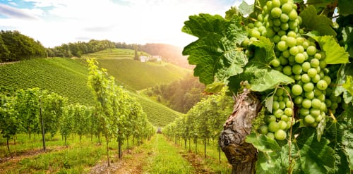 viticulture enology